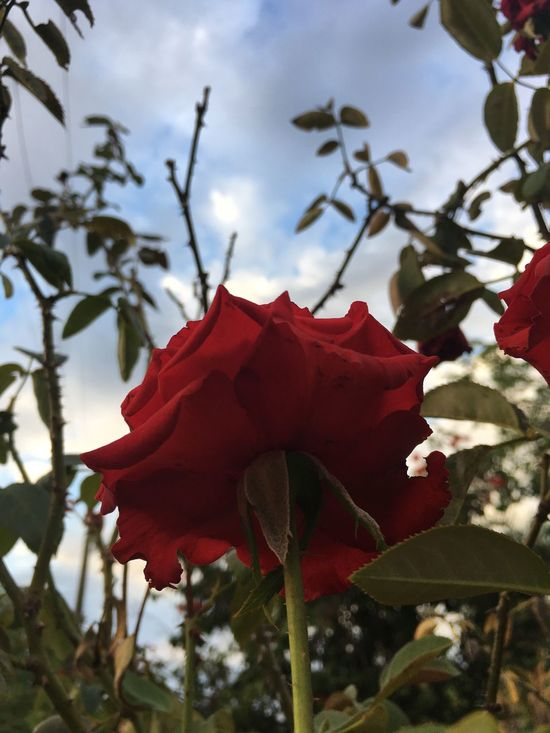 Flower Red Growth Nature Beauty In Nature Freshness Fragility Petal Close-up Blooming Plant Flower Head Tree Day Outdoors Sky No People Green Color Branch Roses Rose - Flower