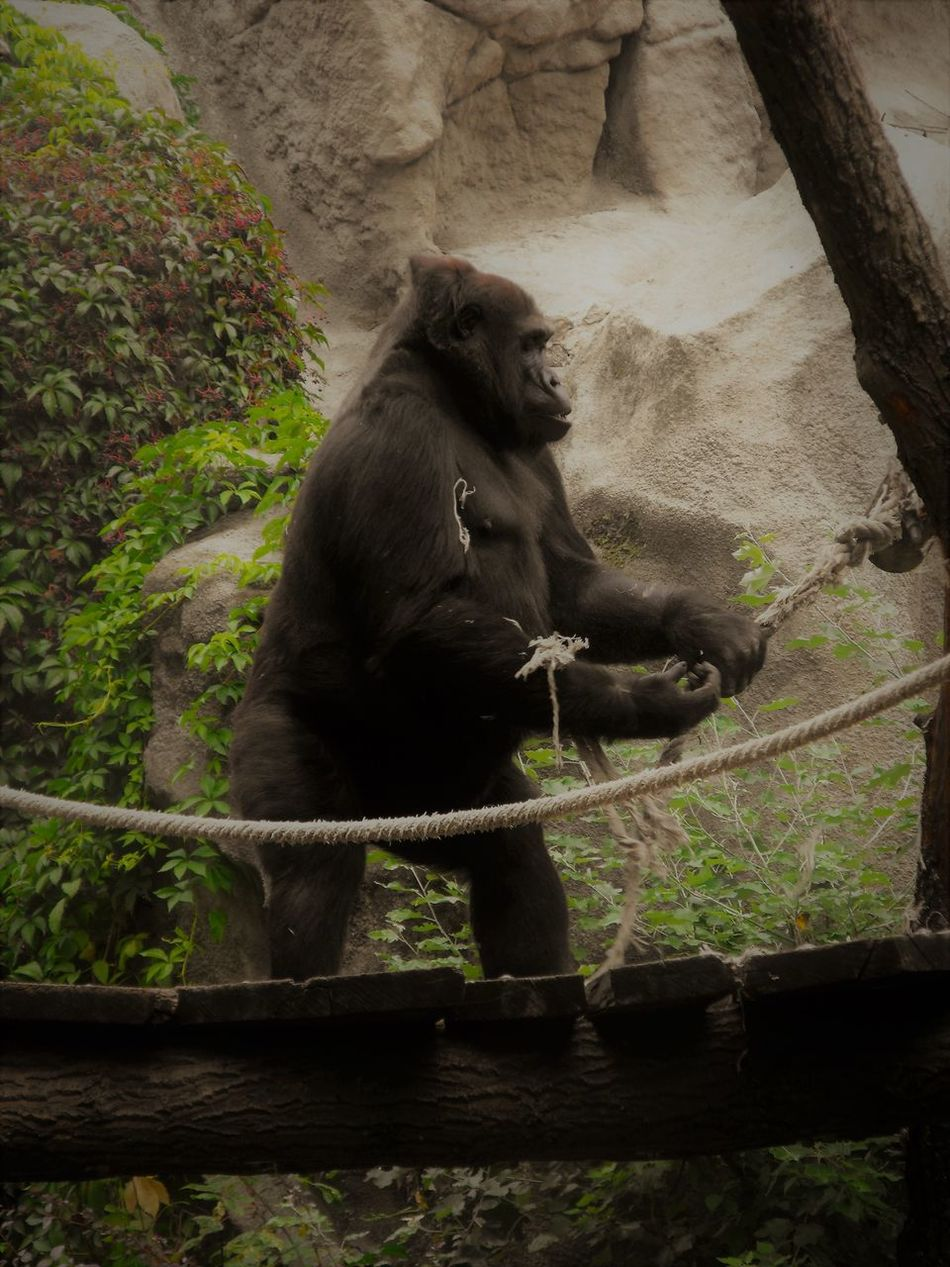 Animal Animal Photography Animal Themes Ape Bridge Cliffs Day Gorilla Hairy  Holding Looking Away Mammal Monkey Nature No People One Animal Outdoors Paying Attention Rock - Object Rock Formation Rope Standing Suspension Bridge Tree Zoo