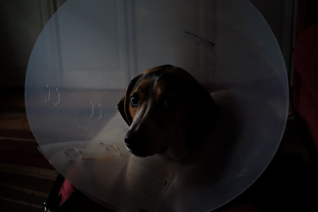 Lacey and the Cone of Shame. Only for a little while. Eye4photography  Shootermag_usa Fujifilm_xseries Cone Of Shame Animal Themes Indoors  Close-up Black Color Dog Pets Zoology Domestic Animals Selective Focus Animal Head  Animal Focus On Foreground At Home Loyalty No People