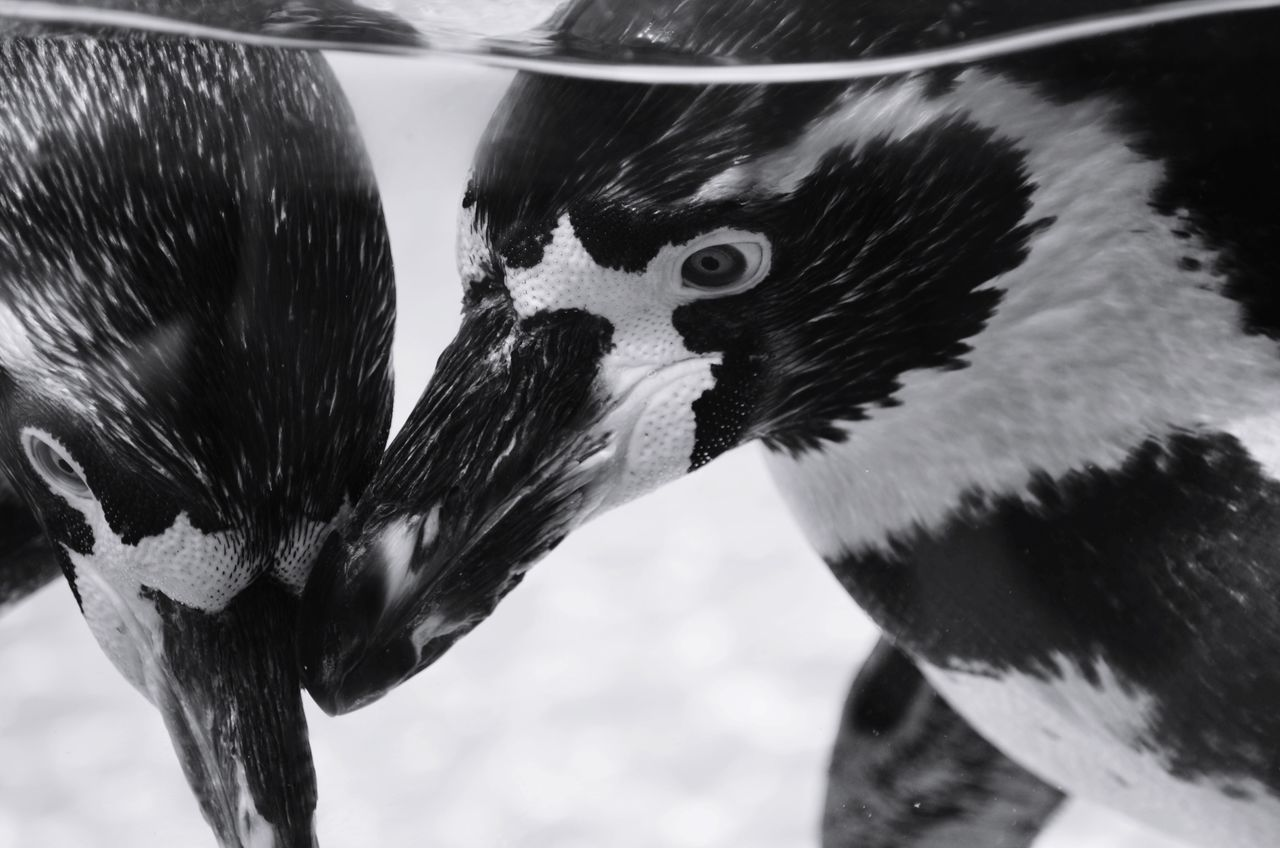 Animal Themes Bird Animals In The Wild Close-up Animal Wildlife Animal Head  No People Two Animals Couple Animals In The Wild Animal Photography Animal Body Part Animal Close Up Emotions Animal Emotion Blackandwhite Blackandwhite Photography Beak Nature Day Underwater Penguin Black And White Friday