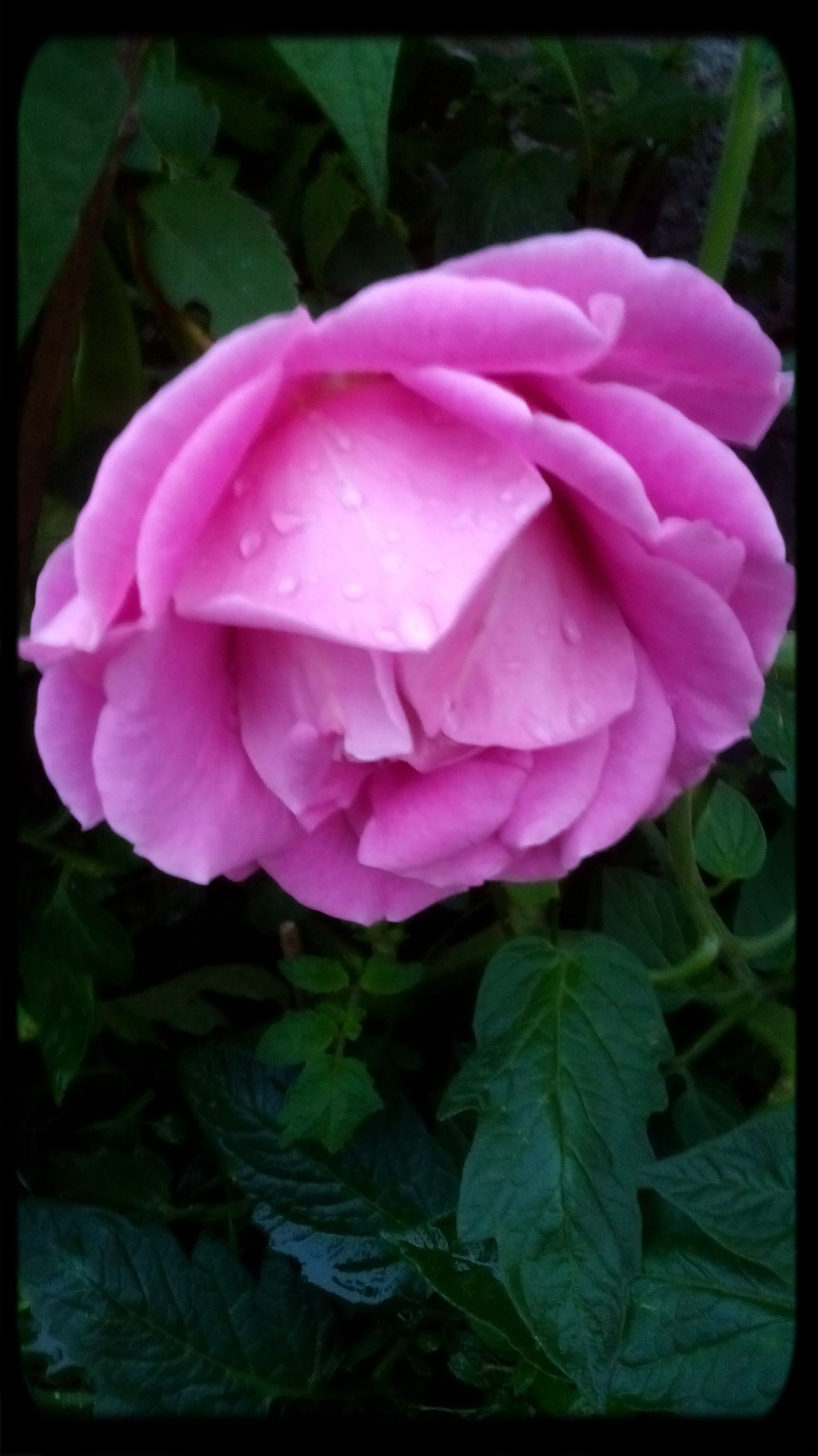 Pink Rose Flower Check This Out