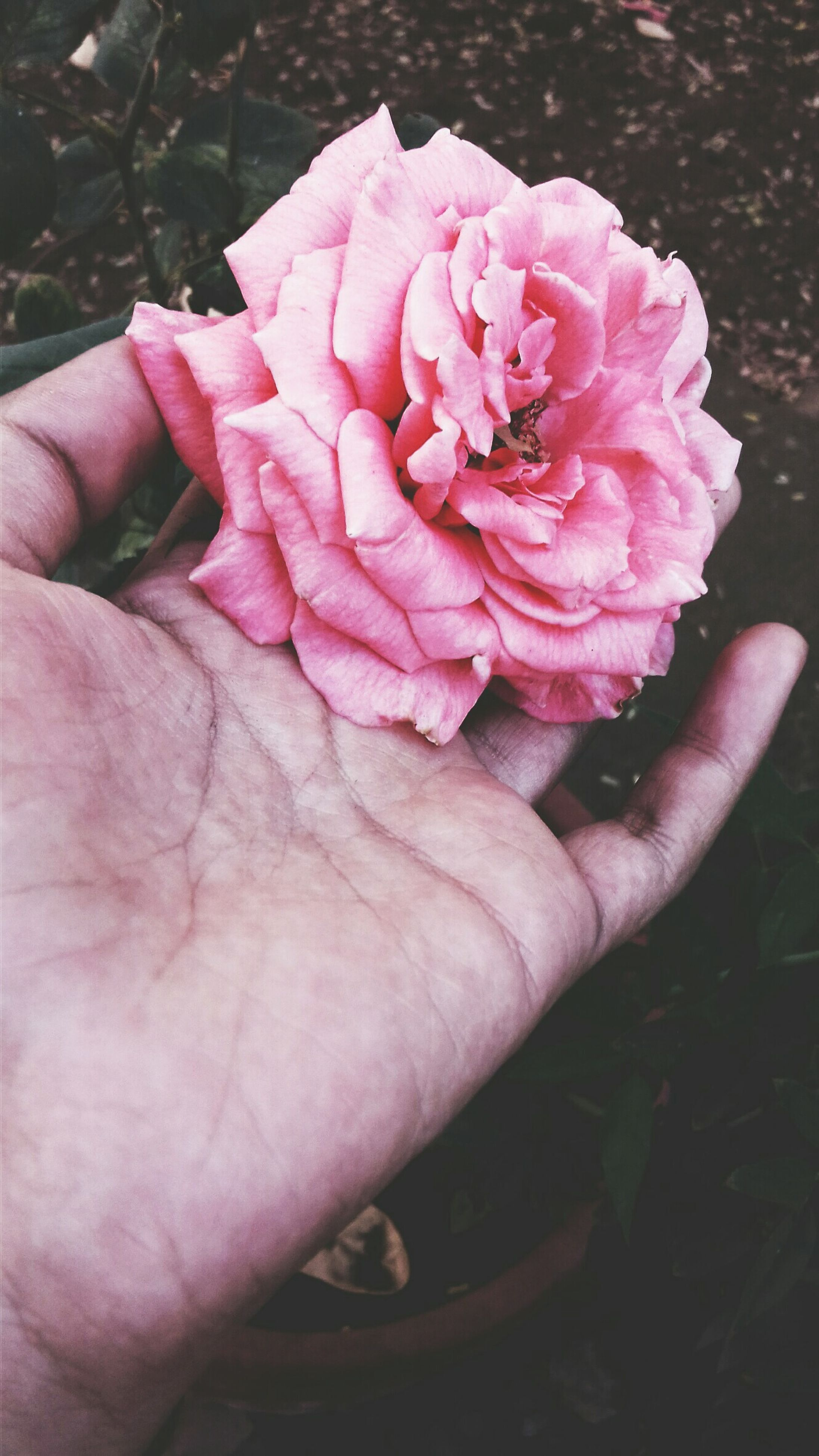 person, flower, part of, petal, holding, fragility, freshness, cropped, flower head, pink color, human finger, close-up, unrecognizable person, personal perspective, beauty in nature, focus on foreground, plant