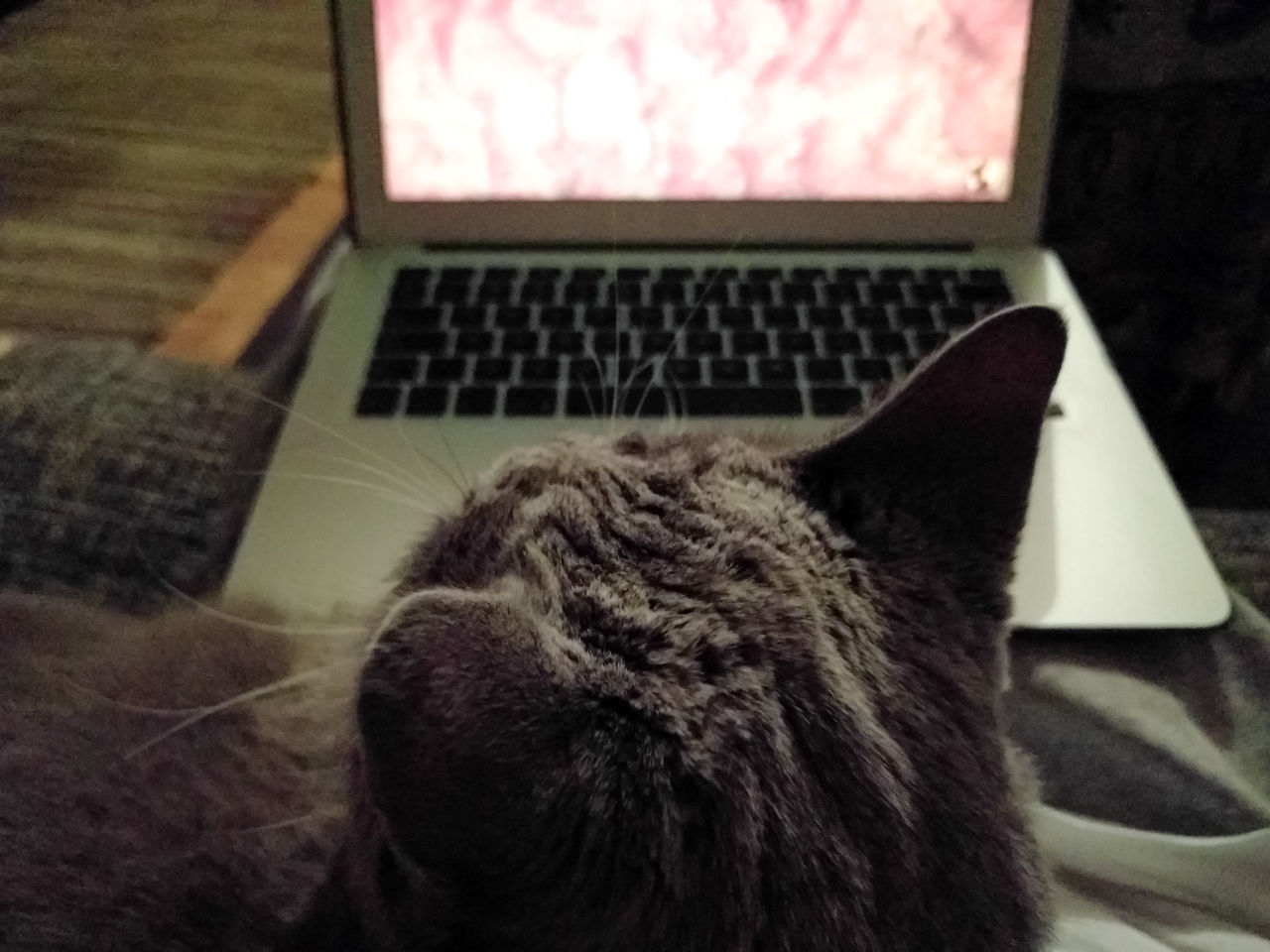 laptop, domestic cat, indoors, wireless technology, one animal, technology, mammal, feline, animal themes, no people, using laptop, pets, close-up, keyboard, day