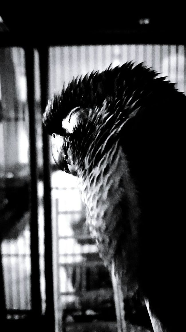 Puffy sleeping contently on a perch Hanging Out Taking Photos Relaxing Check This Out Enjoying Life Bird Photography Birds_collection Black And White Photography Blackandwhite Photography Blackandwhitephotography Black&white Black & White Blackandwhite Blacknwhite Greencheekconure Cute Pets Pets Corner Pet Life  Pet Lover Pet Portrait Cutepets Pets Pet Photography  Cuteness Cute♡