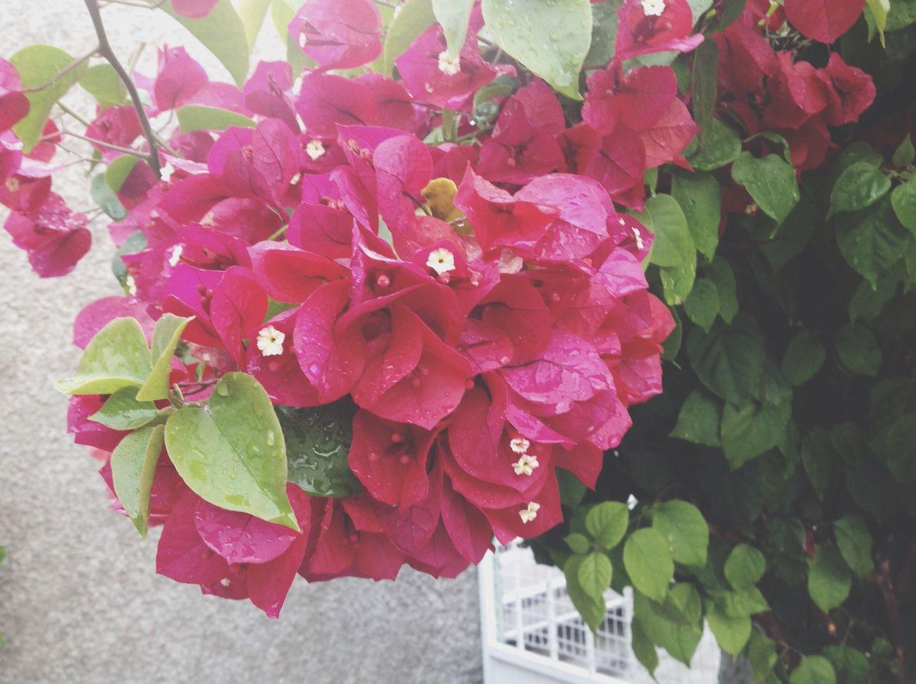 Flower Bugambilia Pink ぴんく