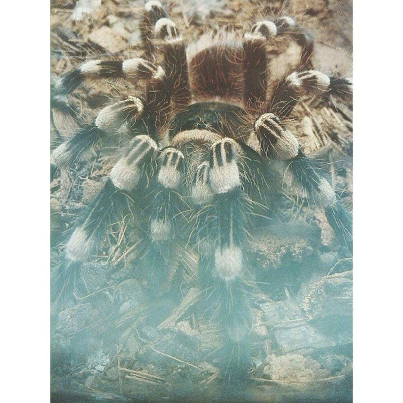 My love <3 Acanthoscurria Geniculata Tarantula Whiteknees cutemmmmlubimjulike4like √