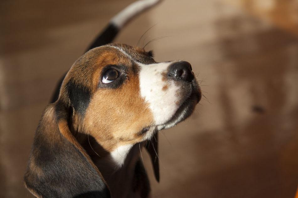 Beautiful stock photos of beagle, one animal, focus on foreground, close-up, dog