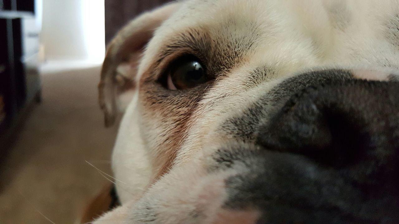 Beautiful stock photos of bulldog, Animal Body Part, Animal Eye, Animal Head, Animal Themes