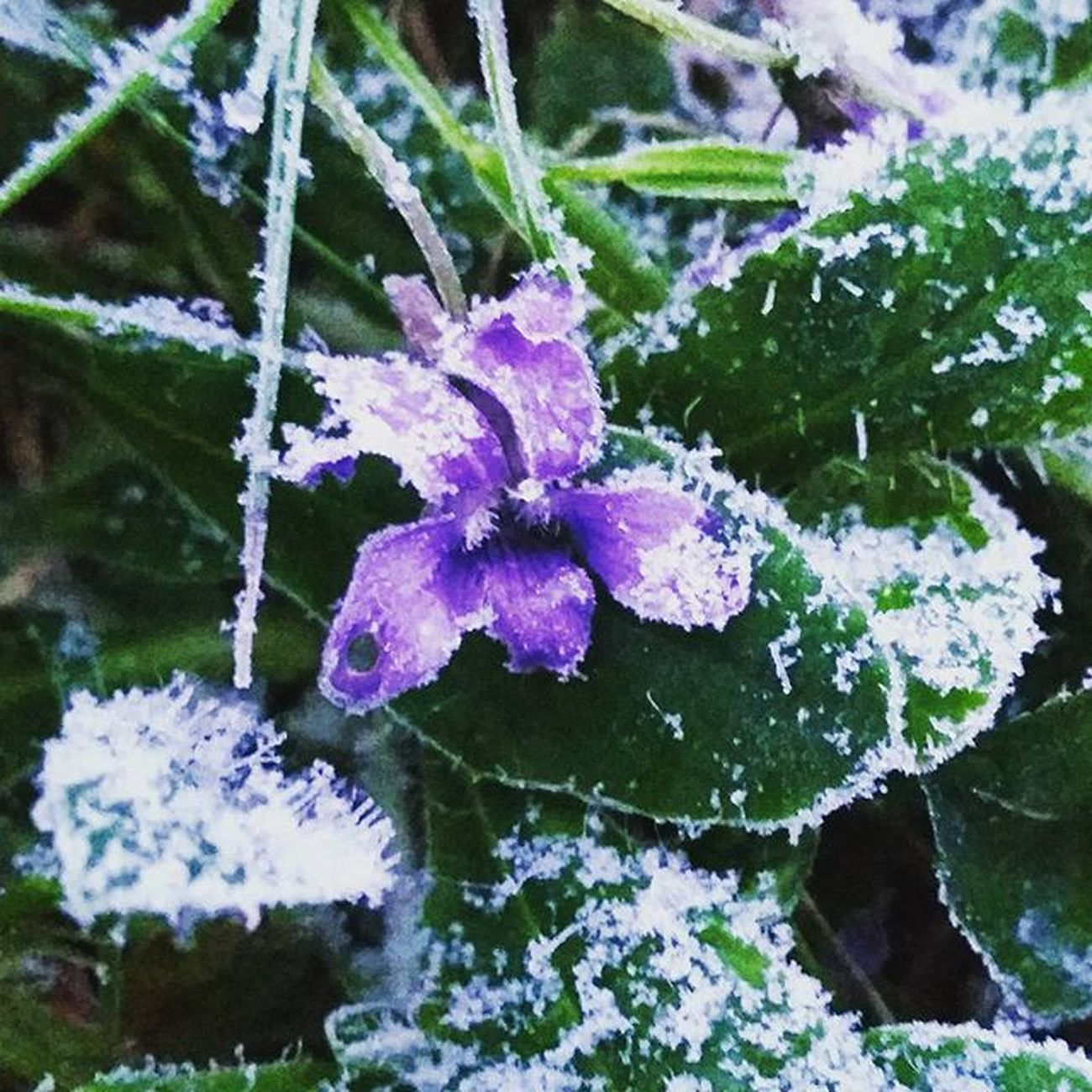 A little bit Frosty this morning❄ ❄ Frostymorning Flower Iceflower Icy Purpleblooms Lilacflowers Goodmorning Whereisspring Nature's Diversities
