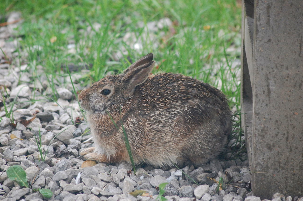 Alertness Animal Animal Themes Beauty In Nature Close-up Cottontail Day Eastern Cottontail Field Focus On Foreground Grass Grassy Ground Juvenile Cottentail Mammal Nature No People Outdoors Portrait Rodent Selective Focus Wildlife