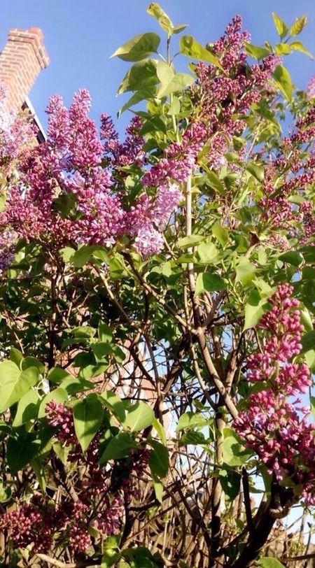 Tree Purple Purple Flower Flowers Old Nature