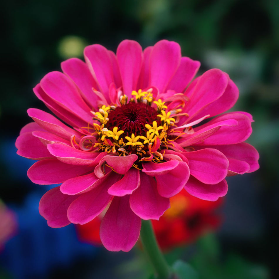 Zinnia Blooming Close-up Day Flower Growth No People Outdoors Petal Plant Zinnia