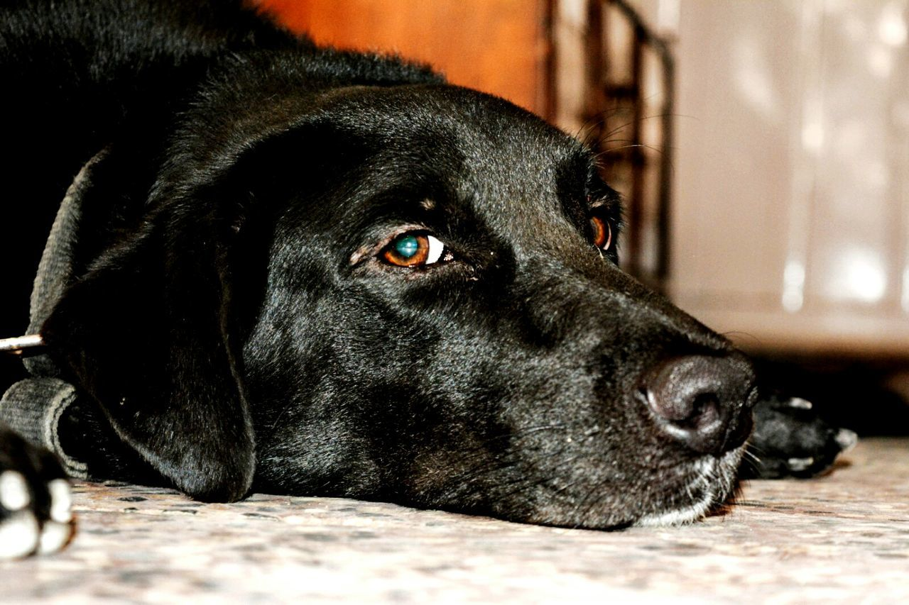 dog, pets, domestic animals, one animal, animal themes, mammal, close-up, black color, black labrador, indoors, no people, labrador retriever, day