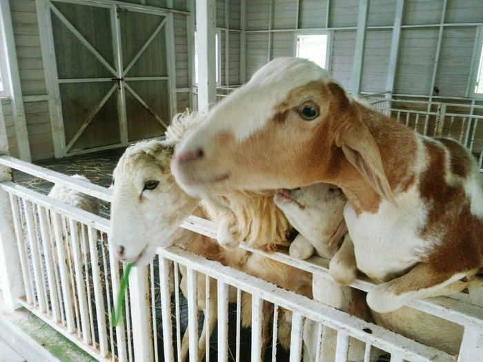 Animal Themes Mammal Domestic Animals One Animal Livestock Animals In Captivity Cage No People Day Indoors  Close-up Kid Goat Pets