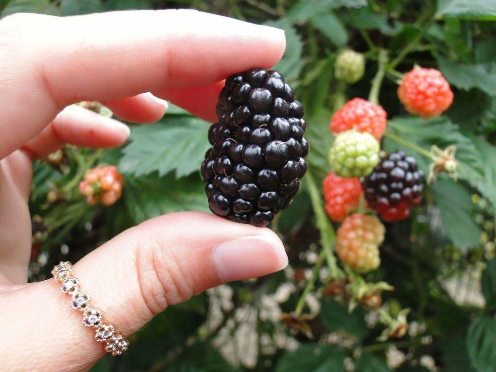 🍒🍃Fruit Outdoors Healthy Eating Nature Food And Drink Blackberry Blackberry - Fruit Blackberry Freshfruit Organicfruit Organic Organic Food Organic Gardening Frutas Frescas Frutas Organico Amora Amoras Pé De Amora
