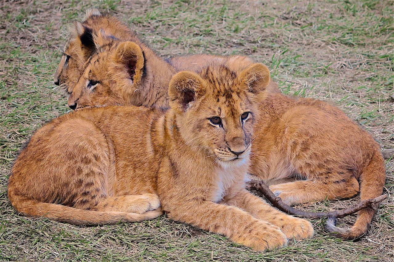 Lion Lions Lion Cubs Lion King  Lionking Simba Safari Animals Safari Safari Park Safaripark Safari Adventure Wild Animals Up Close Big Cats King Of The Jungle