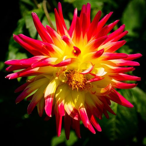 A fiery Dahlia ... Flower Petal Fragility Flower Head Freshness Beauty In Nature Nature Blooming Close-up Plant Dahlia Red Yellow Flowers Outdoors
