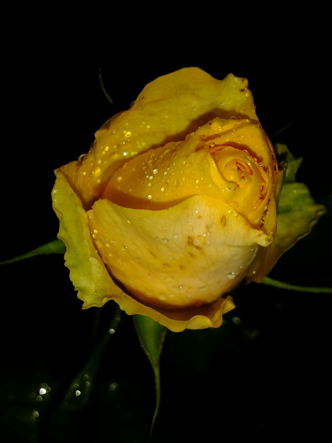 This photo is a personal favourite of mine 😊 the yellow rose always looks great at night 😎 Hope you like it too ☺ Rose - Flower Droplets, Water Droplets, Flowers  Beautiful Nature Nature Beauty In Nature Amazing Nature Flowers In My Garden Awesome_nature_shots Macro_flower Capture The Moment Macro Botany Macro_captures Smartphone Photography Things I Like Focus On Macro Beauty Flowers, Nature And Beauty Nature On Your Doorstep Purist Droplet Night EyeEm Nature Lover Black Background Flower Photography Yellow Rose