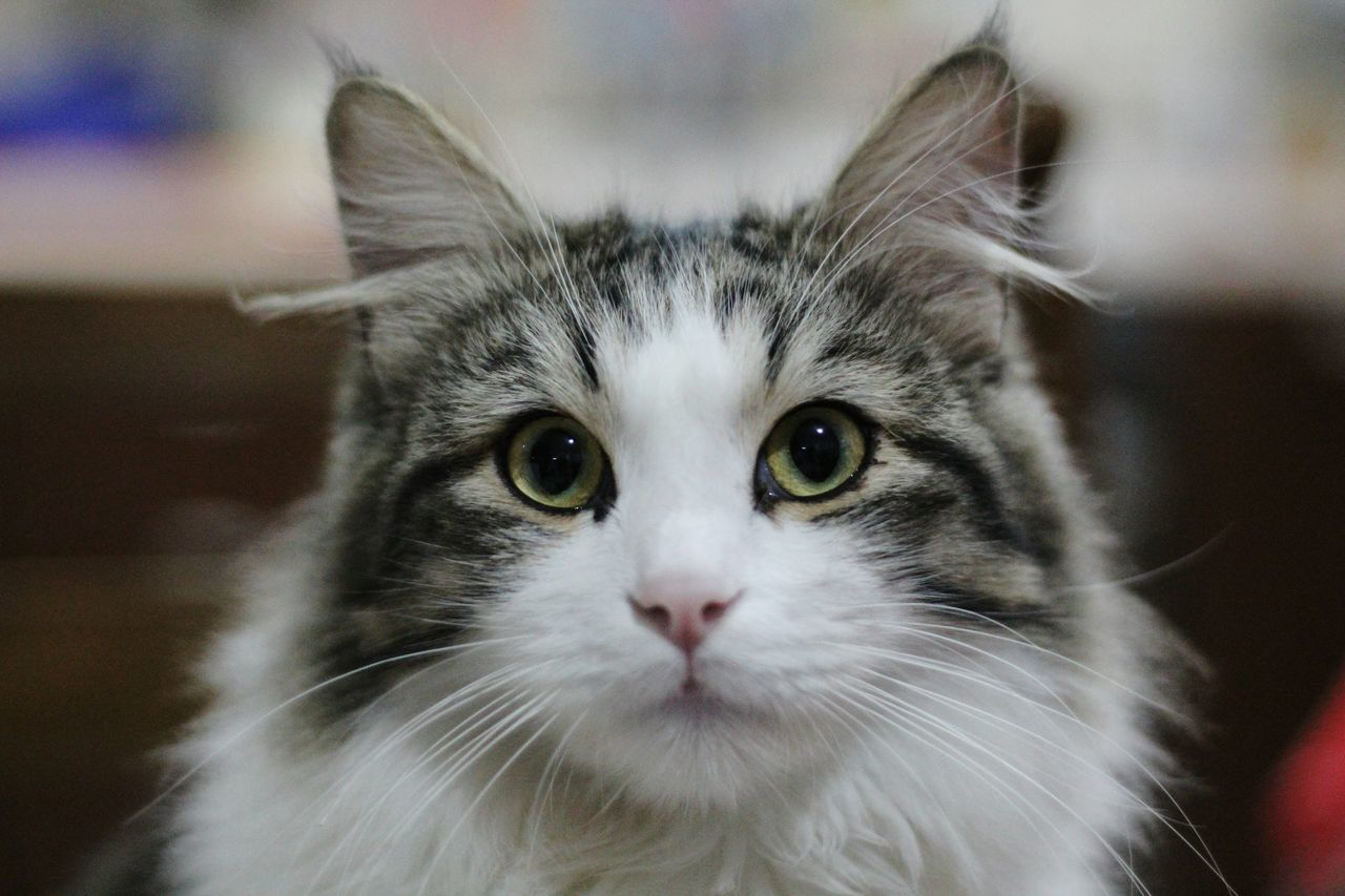 Domestic Cat Pets Looking At Camera Portrait Feline One Animal Animal Body Part Domestic Animals Animal Eye Whisker Animal Animal Hair Animal Themes Mammal Close-up No People Indoors  Yellow Eyes Day