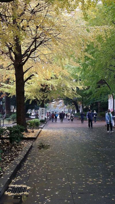 Autumnsplendour Autumncolours Ginkgo Ginkgo Leaves Ueno Park Tokyo Tokyoautumn 2016 Japan Japanautumn2016 Tokyonature Tokyopark Japannature