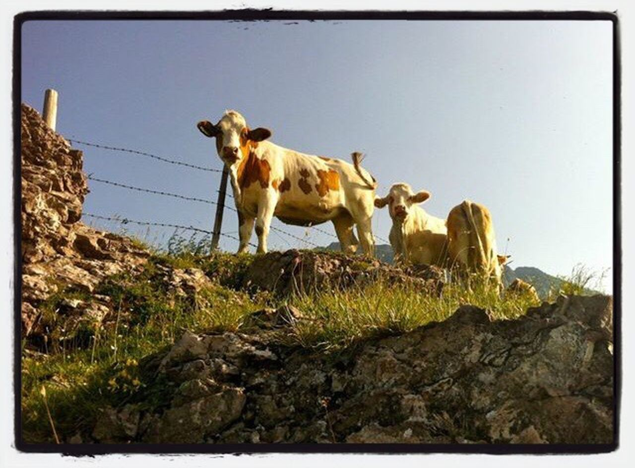 animal themes, domestic animals, no people, mammal, day, outdoors, livestock, young animal, full length, grass, nature, sky, clear sky