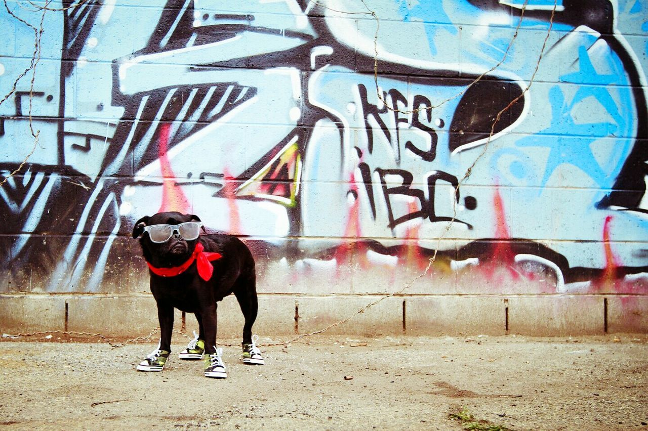 Boocifer | Dogoftheday Pugsrule Sunglasses Pugs Pet Photography  Black Dog Urbanphotography Graffiti Wall Pug Graffiti Graffiti Art Dog Shoes LittleDogs Blackpug EyeEmNewHere The Week On Eyem Artwall Graffiti Photography Urban Landscape Urban Fashion Street Fashion Street Art/Graffiti Black Pug The City Light This Week On Eyeem