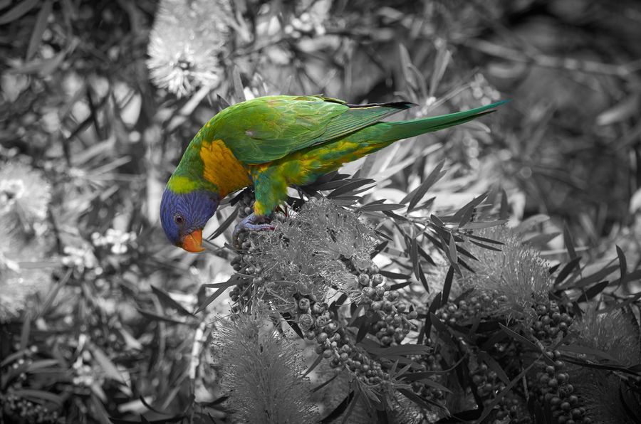 Animal Themes Animals In The Wild Beauty In Nature Bird Branch Day Forest Leaf Multi Colored Nature No People One Animal Outdoors Parrot Perching Rainbow Lorikeet Tree