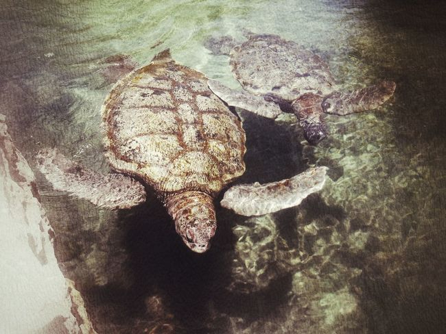 Two sea turtles swimming along Turtles Turtleshell Turtles Swimming Sea Turtles Giant Turtles Swimming Time Textures And Surfaces Textures Water Sea Animals Cancun Mexico Caribbean Caribbean Sea Calmness Siblings