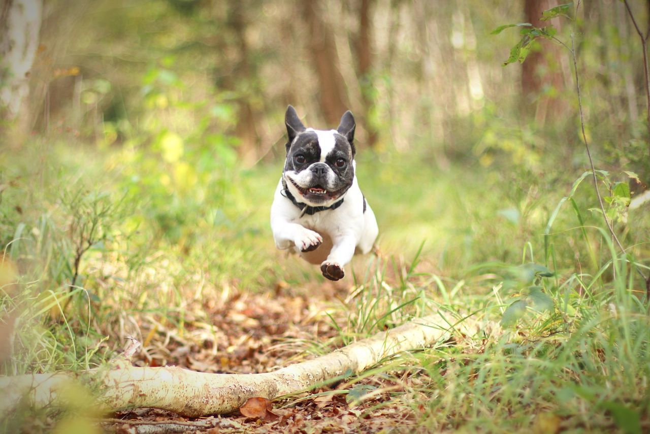 Dog Pets Outdoors Day Animal Themes Grass Autumn Herbst French Bulldog Having Fun No People Looking At Camera Nature Portrait French Bulldog Französische Bulldogge  The Week On EyeEm Hunde Hund Dog In Action Hund In Aktion Flying Flying Dog Flying Dogs Fliegender Hund Flying French Bulldog