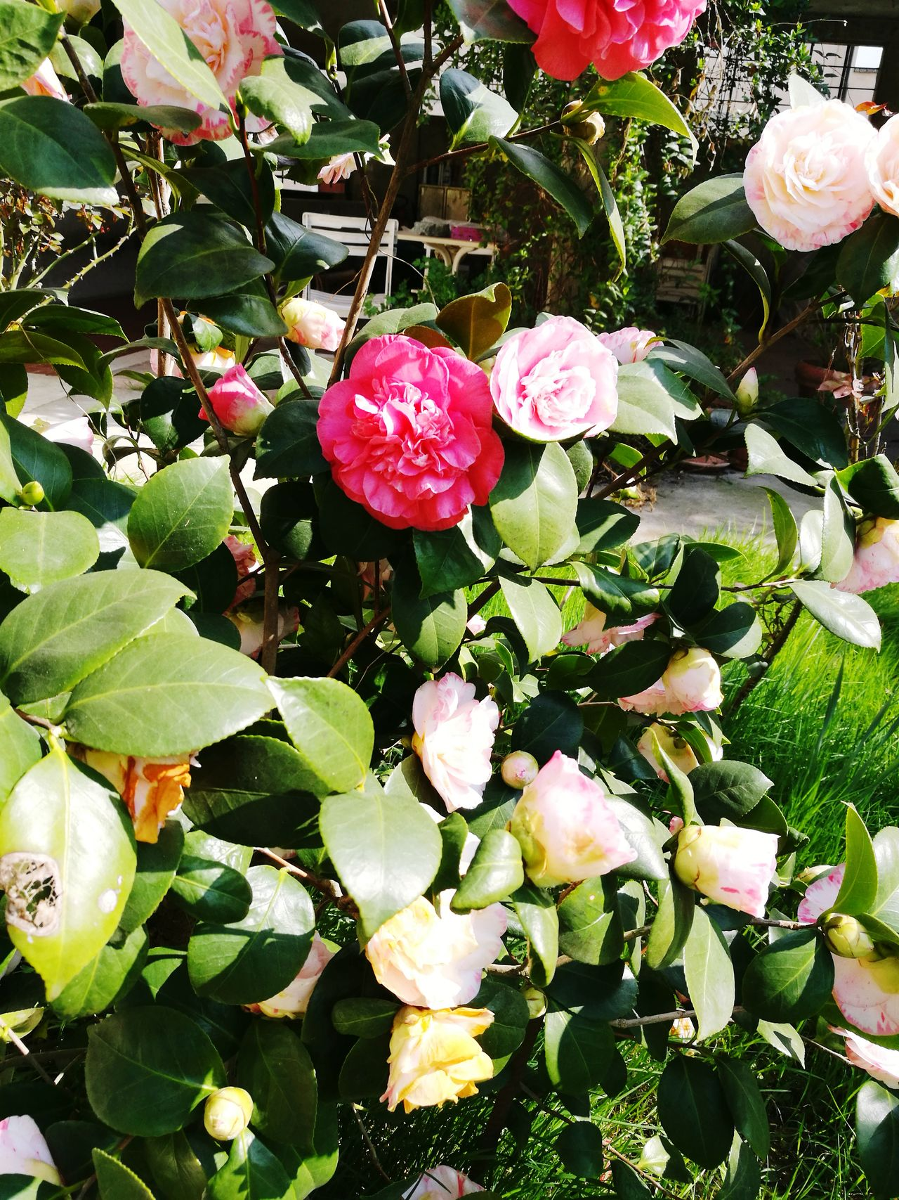Leaf Growth Freshness Plant Nature Fragility Fruit No People Beauty In Nature Flower Outdoors Green Color Pink Color Close-up Day Flower Head Rose🌹 Roses🌹 Rose - Flower Rose Petals Roses Flowers  Rose Flower Roses Rose♥ Rose Garden