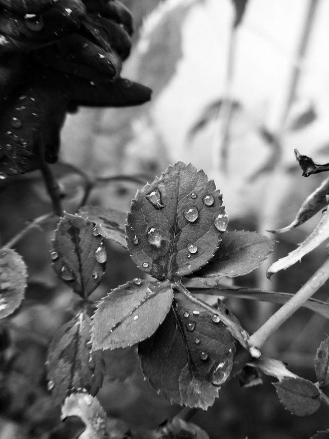 Aiikos Black.n.white Blackandwhitephotography Flowerporn Drops Aiikos Garden Black&white Rain Drops Waterdrops Leaf Leafporn Monochrome Macro Beauty