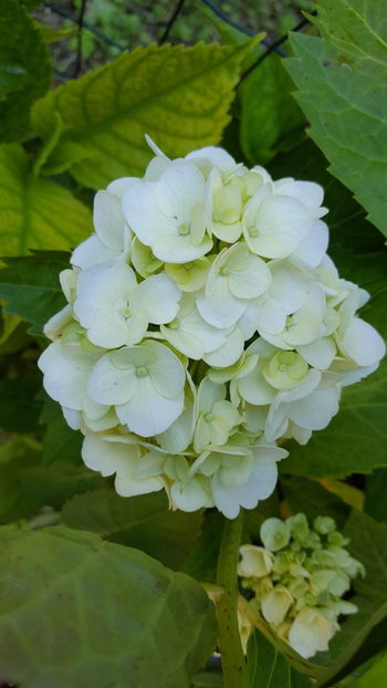 Flower Fragility Freshness Petal Close-up Beauty In Nature Growth Flower Head Leaf Springtime Blossom White Color Bunch Of Flowers Nature Plant In Bloom Selective Focus Hydrangea Botany Macro