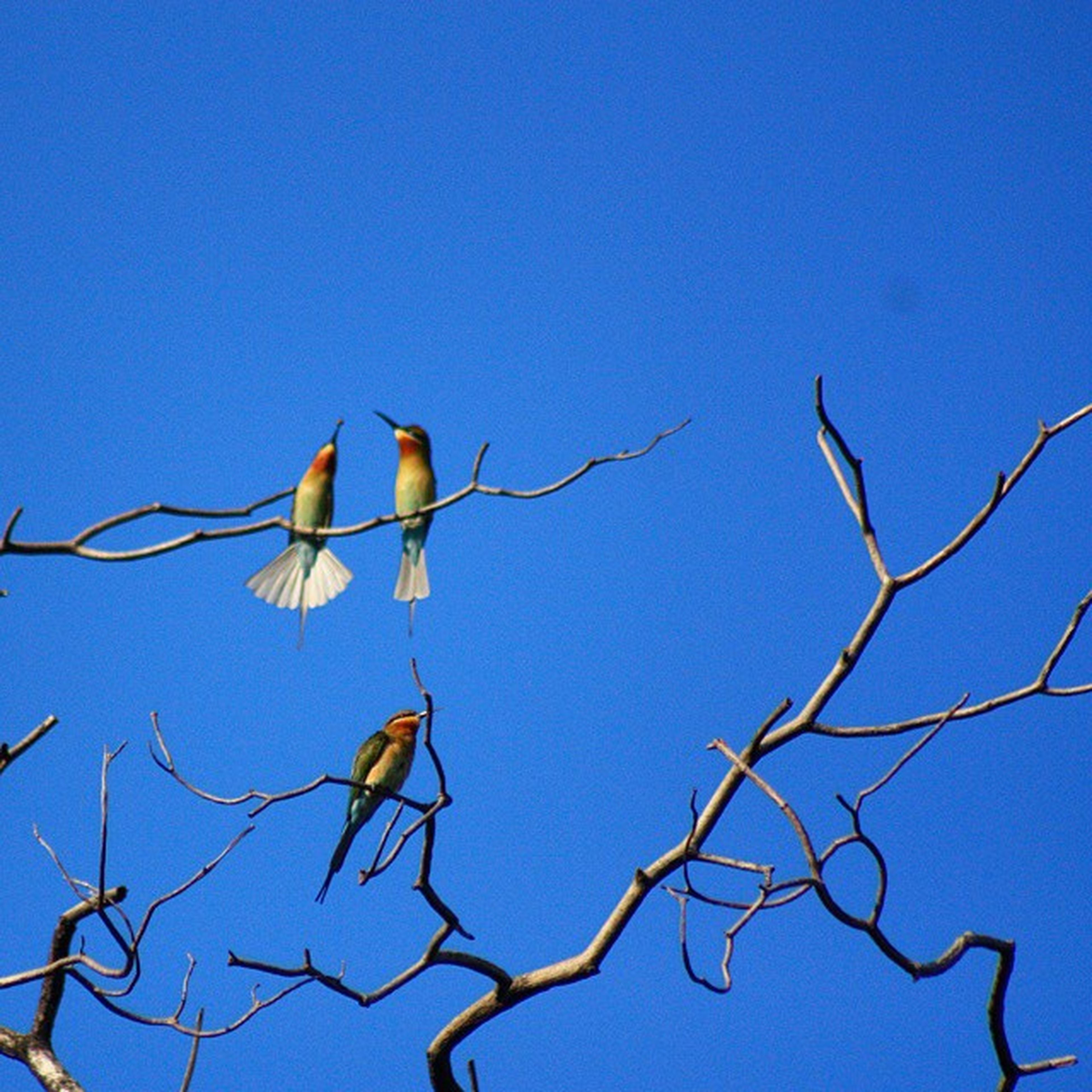 bird, clear sky, low angle view, animal themes, animals in the wild, blue, wildlife, perching, copy space, one animal, branch, flying, bare tree, nature, spread wings, day, outdoors, flock of birds, no people