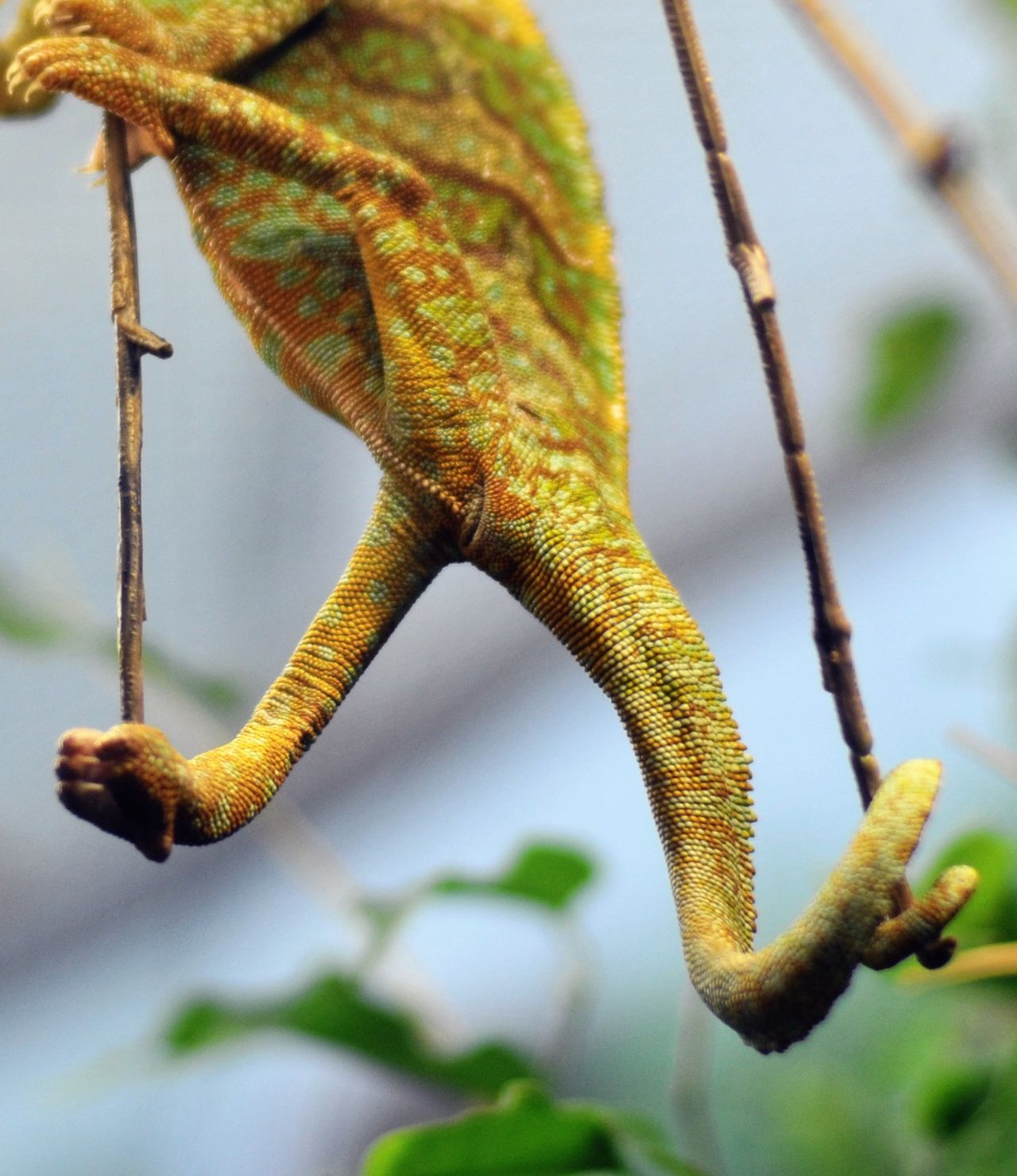 Animal Animal Themes Animal Wildlife Animals In The Wild Beauty In Nature Branch Camouflage Chameleon Close-up Day Escape EyeEm Best Shots EyeEm Gallery EyeEm Nature Lover Grip Leaf Lizard Nature No People One Animal Outdoors Reptile Scales Wildlife Wildlife & Nature