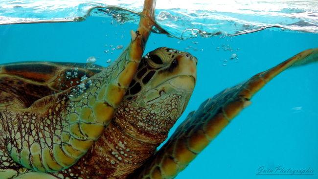 Animal Themes Blue Close-up Nature Nature Reptile Sea Sea Life Sea Turtle Swimming Turtle UnderSea Underwater Water
