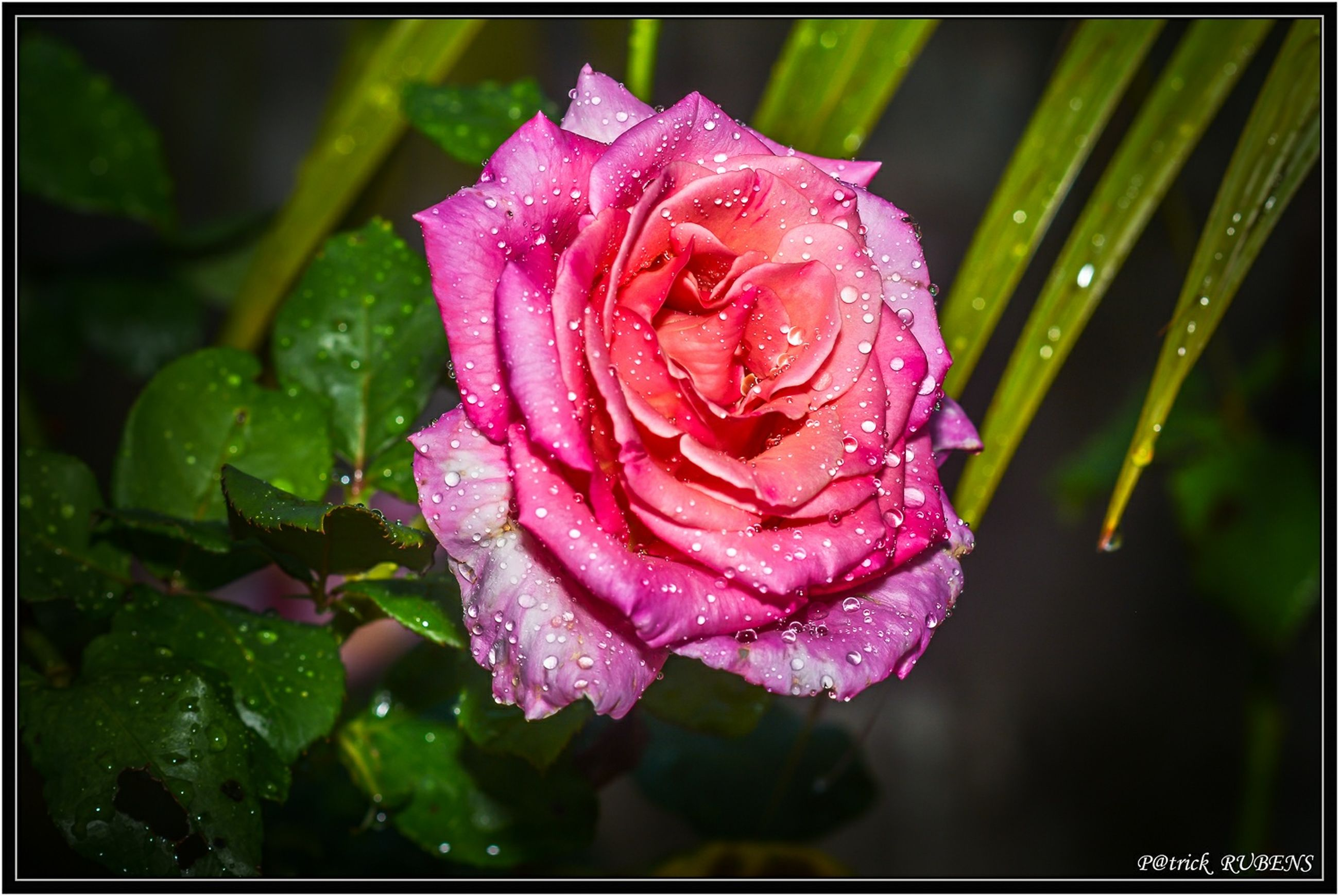 drop, flower, freshness, petal, water, wet, fragility, flower head, close-up, beauty in nature, growth, dew, pink color, rose - flower, single flower, blooming, nature, raindrop, focus on foreground, transfer print