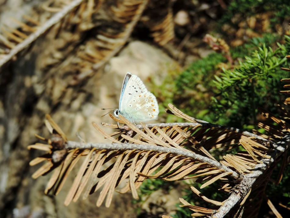 Animal Wildlife Nature Insect Animals In The Wild Butterfly - Insect Outdoors Beauty In Nature Animal Themes Pyrenees National Park Randonnée Miles Away Landscape_Collection OpenEdit Travel Destinations Traveling