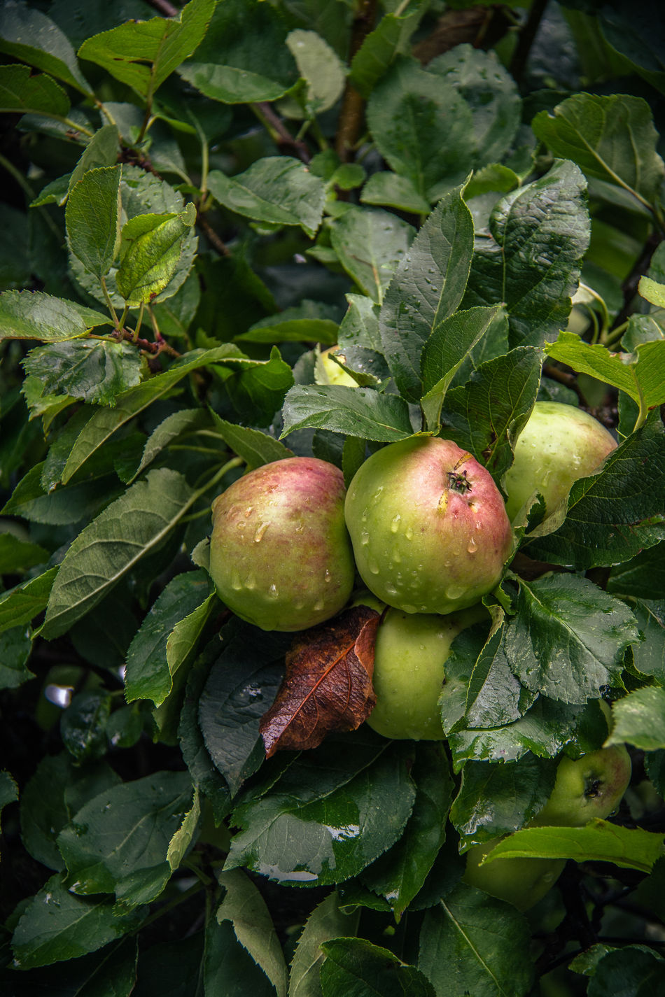 After Rain Apples Close-up Day Drop Food Food And Drink Freshness Fruit Green Color Growth Healthy Eating Leaf Nature No People Outdoors Plant Summer