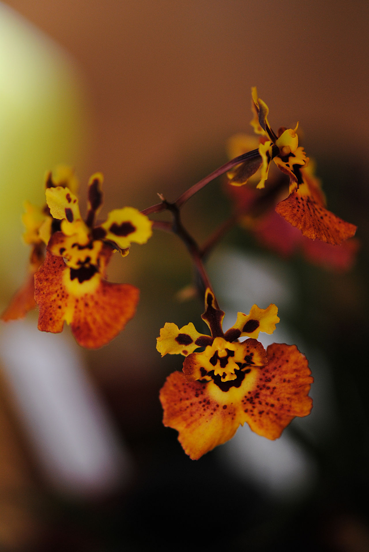 Background Beauty In Nature Close-up Day Flower Flower Head Fragility Freshness Garden Growth Nature Nature No People Orange Orchids Orchid Orchid Blossoms Orchid Exhibition Orchids Outdoors Petal Plant Pollen Yellow Yellow Orchid