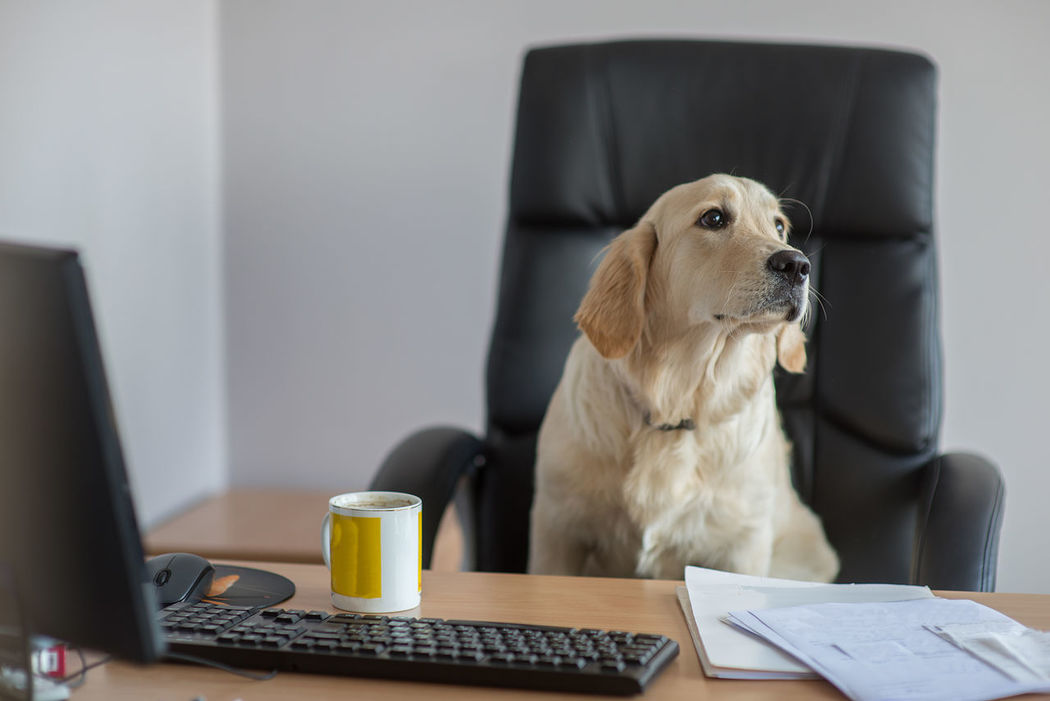 golden retriever working at office Animal Anthropomorphic Business Business Finance And Industry Businessman Coffee Coffee Time Cup Desk Document Dog EyeEmNewHere Golden Retriever Indoors  Laptop Office Office One Animal Pets Technology Wireless Technology Work Working