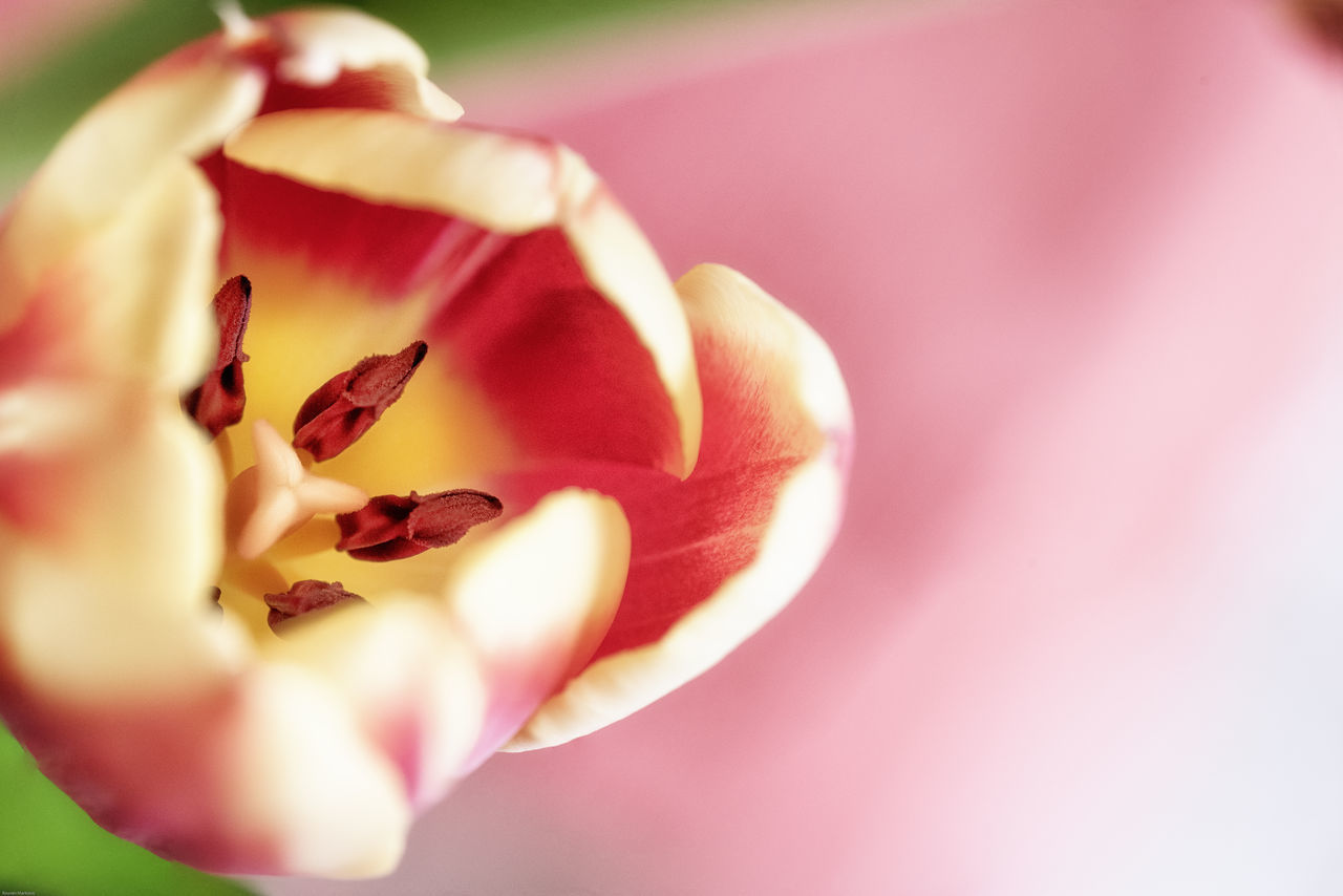 A Tulip in a bunch my wife brought home. It is a stitch of 4 images i made with my Sigma 105mm f2.8 macro lens. Beauty In Nature Blooming Blossom Bokeh Bokehlicious Botany Close-up Flower Flower Head Focus On Foreground Fragility Freshness Growth In Bloom Macro Nature Nikon Petal Pink Color Plant Selective Focus Single Flower Stamen Tulip Yellow