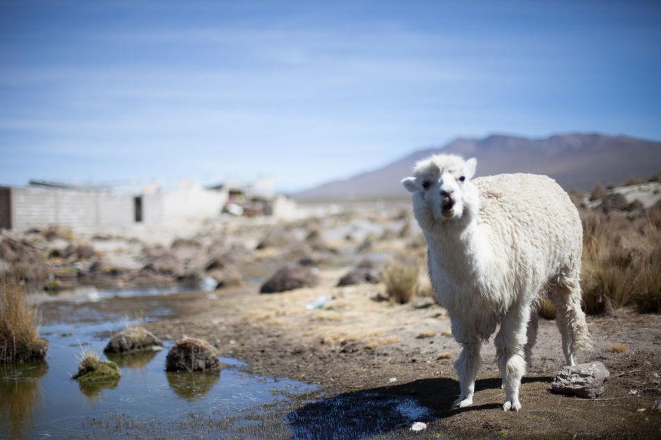 Beautiful stock photos of llama, Alpaca, Animal Themes, Animals In The Wild, Day
