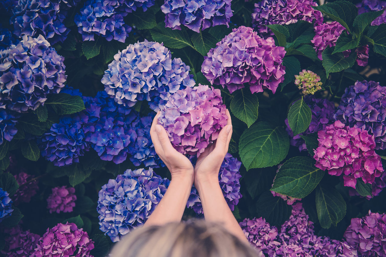 Hydrangea beauty in Nature bloom blossom branch bunch of flowers day flower flower head fragility Freshness full frame Growth Hydrangea low section Nature outdoors person personal perspective petal Plant purple springtime vibrant color Market Bestsellers 2017