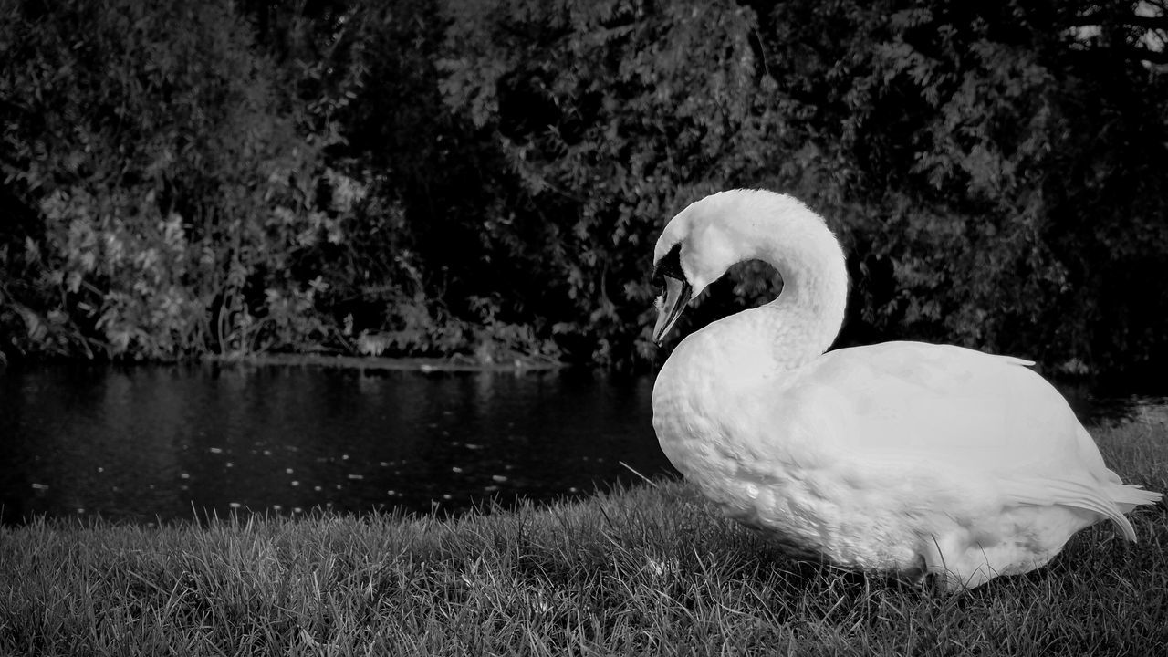 Close-Up Of White Swan On Lakeshore