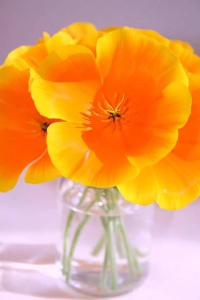 Flowers California Poppies Wildflowers Flowers, Nature And Beauty Flower Photography Nature Orange Color Poppy Plant Poppy Flowers