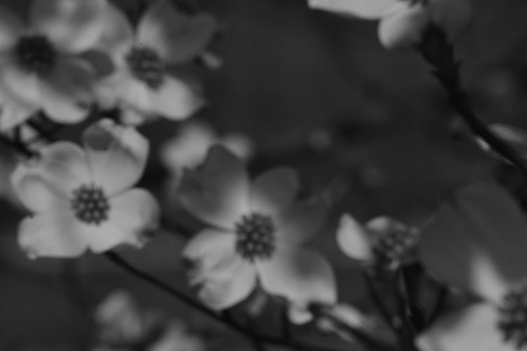 Beauty In Nature Blackandwhite Blooming Close-up Dark Day Flower Flower Head Fragility Freshness Grey Greyscale Growth Light And Shadow Monochrome Nature No People Out Of Focus Outdoor Photography Outdoors Petal Plant Shadow Softness White BYOPaper!