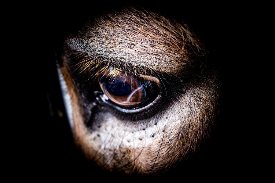 Lightroom Cc Adobe Animal Body Part Animal Head  Animal Themes Black Background Close-up Domestic Animals Donkey Eye Eyeball Eyelash Mammal No People One Animal Outdoors Pets Portrait Sad Sensory Perception Silvereffects