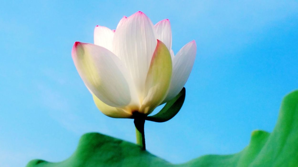 Lotus Flower Taking Photos Flower Head Flower And Sky Wetlands Plants Beauty In Nature