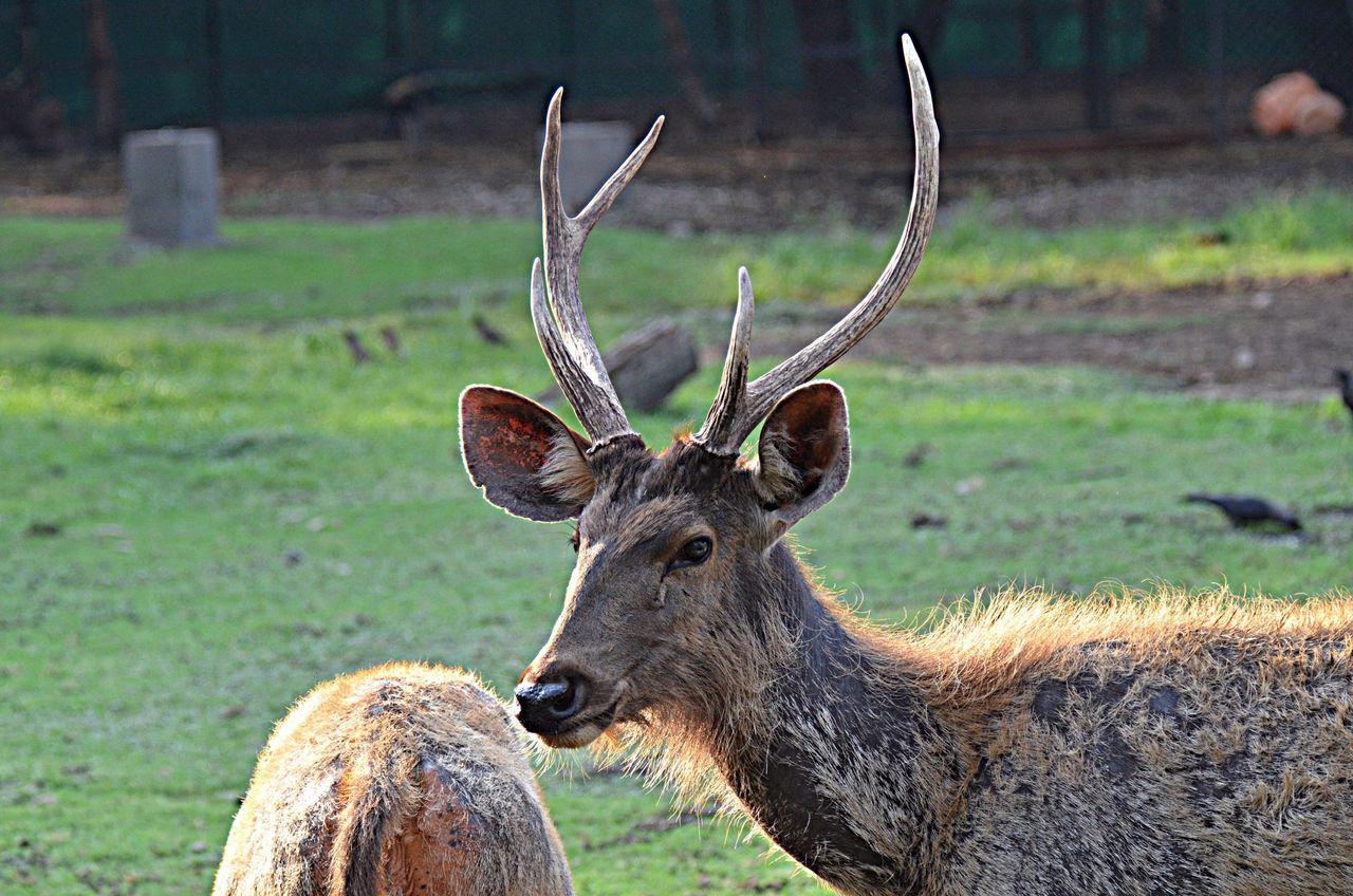 Beautiful stock photos of deer, Animal Themes, Antler, Day, Deer