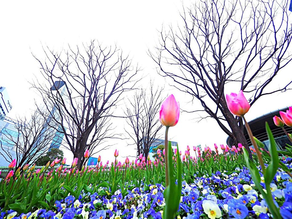 Flower Nature Beauty In Nature Plant Low Angle View Growth Tulip チューリップ Pansy パンジー Freshness Japanese Landscape Japan Photography Roppongi Roppongihills 六本木ヒルズ Tokyo,Japan Olympus Om-d E-m10